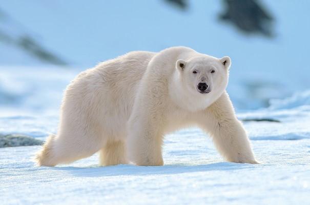 På toppen av näringskedjan står naturligtvis den mäktiga isbjörnen. Sannolikheten att få syn på dessa bjässar är stor – här bor ju faktiskt fler isbjörnar än människor.