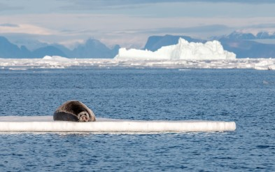 Seal on Ice edge on Greenland