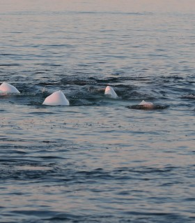 White Belugas swimming