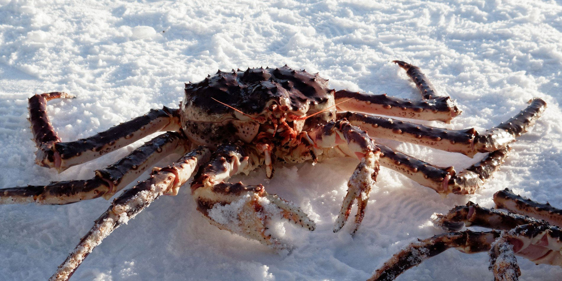A crab in the snow