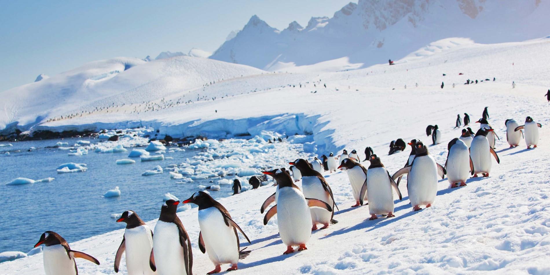 Har pingviner knän