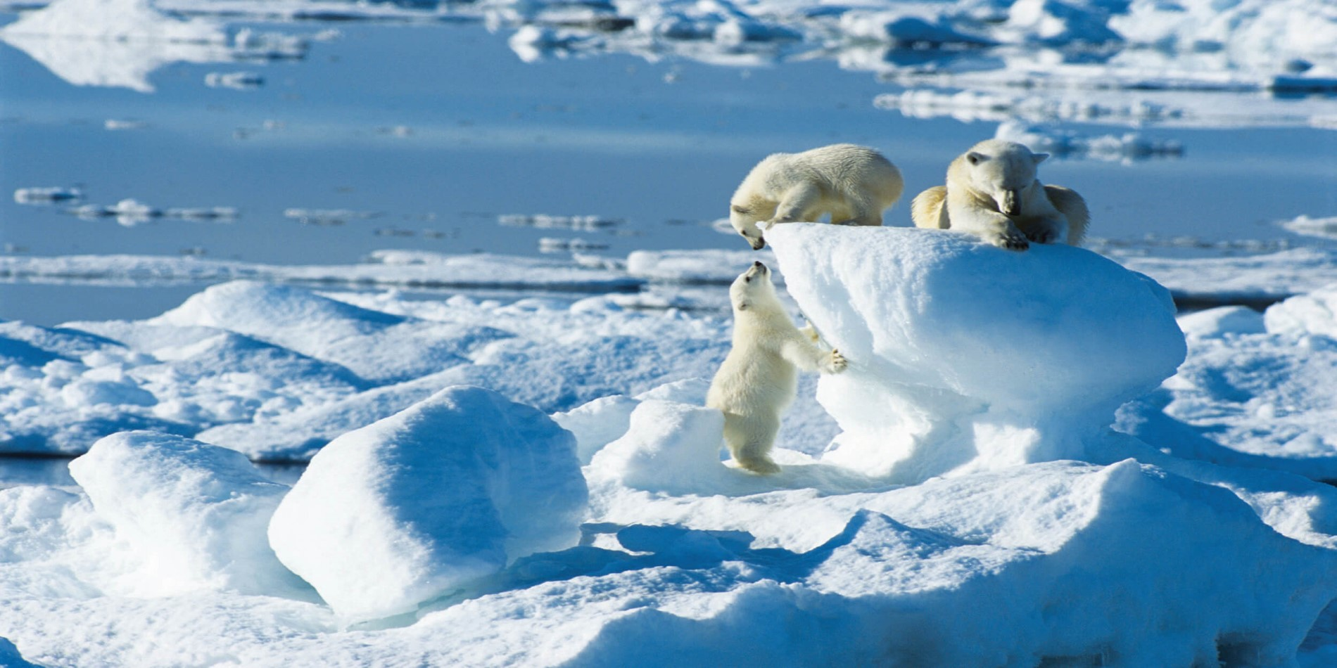 Polar bear cubs (1).jpg